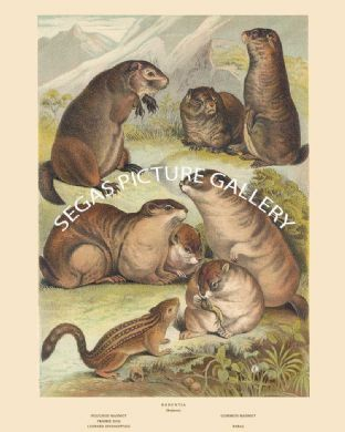 Pouched Marmot, Common Marmot, Priarie Dog, Leopard Spermophile